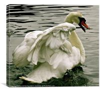 Swan in motion, Canvas Print