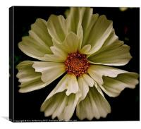 White Cosmos flower, Canvas Print