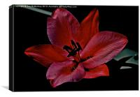 Lily in the shadows, Canvas Print