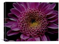 Dark Pink Gerbera Flower, Canvas Print