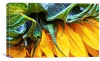 Side of a Sunflower up close, Canvas Print