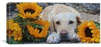 My Labrador My little Sunflower, Canvas Print