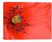 Bright Red Poppy up Close, Canvas Print