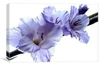 Striking Gladiolus Flower with white background