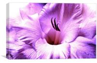 Purple soft shade Gladiolus flower