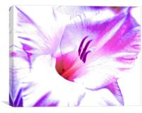 Gladiolus flower purple and pink shades
