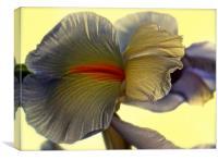 The Iris Flower, The Rainbow Flower , Canvas Print