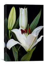Three White Lily Flowers  , Canvas Print