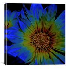 Gazania Flower, Summer Daisy, Canvas Print