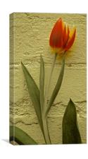 Tulip Flower against the wall                     , Canvas Print