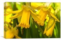 Daffodils growing wild                           , Canvas Print