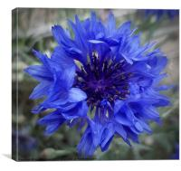 Cornflower blues, Canvas Print