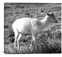 Solitary Fallow Deer, Canvas Print