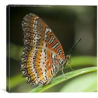 Resting Butterfly, Canvas Print