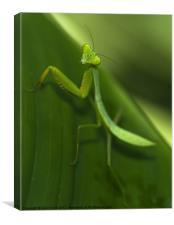 Green Praying Mantis, Canvas Print