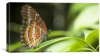 Malay Lacewing Butterfly, Canvas Print