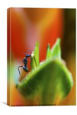 Ant on a Heliconia Stricta Flower, Canvas Print