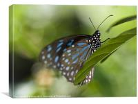 Liuchiou Blue Spotted Milkweed Butterfly, Canvas Print