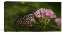 Milkweed Butterfly, Canvas Print