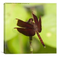 Macro photograph of a Dragonfly on a Leaf, Canvas Print
