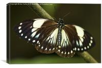Butterfly laying her Eggs, Canvas Print