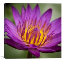 Macro photograph of a water lily, Canvas Print