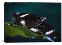 Macro photograph of a Resting Butterfly, Canvas Print