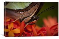 Butterfly resting on an Ixora, Canvas Print