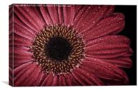 Dew on a Gerbera Daisy, Canvas Print