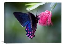 Pink Cattleheart Butterfly, Canvas Print
