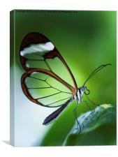 Macro photograph of a Glasswinged Butterfly, Canvas Print