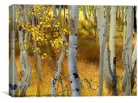 Aspens in Fall, Canvas Print