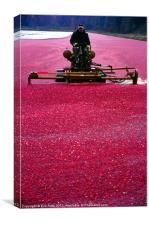 Cranberry Harvest, Canvas Print
