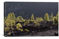Back lit pines, Canvas Print