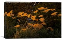 Austroderia grasses glowing in the last rays of t, Canvas Print