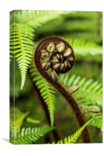 Crozier fern leaf uncurling, Canvas Print