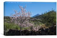 Almond blossom., Canvas Print