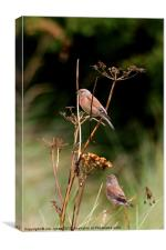 Linnets in the Dunes, Canvas Print