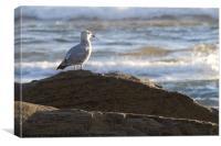 Seagull in Morning Sunshine, Canvas Print