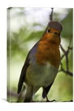 Inquisitive Robin, Canvas Print