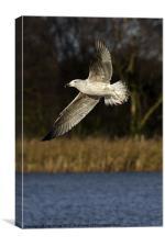 Gull in flight, Canvas Print