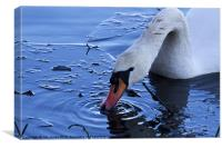 Swan drinking iced water, Canvas Print