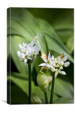Wild Garlic, Canvas Print