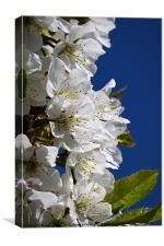 Cherry blossom and blue sky, Canvas Print