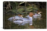Goosander mother and young, Canvas Print