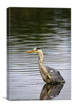 Grey Heron fishing, Canvas Print