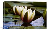 Water Lily seems illuminated, Canvas Print