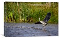 Dancing Grey Heron!, Canvas Print