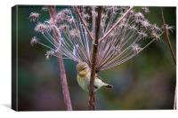 Young Willow Warbler perched in Cow Parsley, Canvas Print