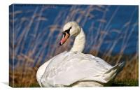 Mute Swan at Big Waters, Canvas Print